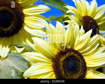 brightly colored sunflowers - Stock Image