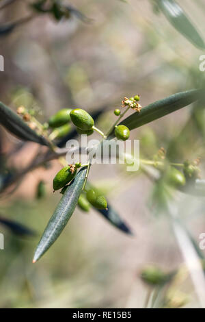 Close up view of olive tree - Stock Image