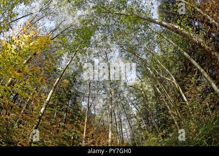 Fisheye lens view of towering mature red alder trees Alnus rubra in Pacific Spirit Regional Park, Vancouver, BC, Canada - Stock Image