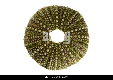 Overview of the test (hard shell) of a green and regular sea urchin (Echinoidea) isolated over a white background. - Stock Image