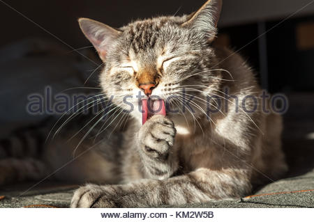 Common gray young cat is comfortably self cleanign itself on the bed at home. This animals are very clean ones and - Stock Image