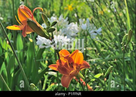 Orange Day Lily, Daylily, Hemerocallis, Beebe Park, Mission Viejo, MV, CA  080618_30835 - Stock Image