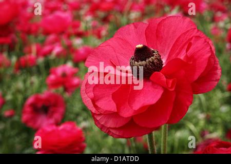 A macro capture of elegant, red ranunculus blossoms. - Stock Image