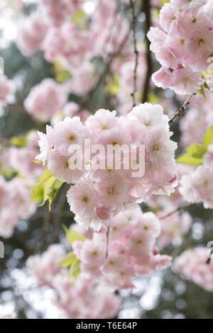 Prunus 'Ichiyo' blossom. Cherry blossom in an English garden. - Stock Image