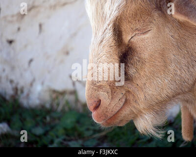 A billy (male) goat sleeping in the shade of rocks beside the 'Route des Crêtes' in the Verdon Gorges, - Stock Image