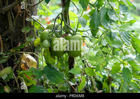 Moneymaker green tomatoes growing on a plant in rural garden and not ripening in late September weather in Carmarthenshire West Wales UK  KATHY DEWITT - Stock Image