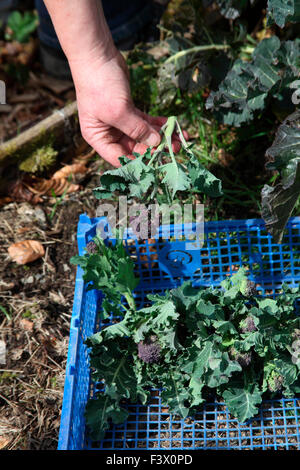 Brassica oleracea 'Purple Sprouting' Broccoli harvesting mature curds - Stock Image
