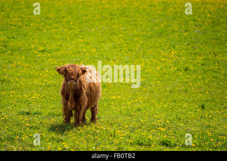 Single highland cow in summer field - Stock Image
