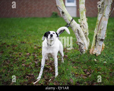 Portrait Of Dog Tied To Branch In Backyard - Stock Image