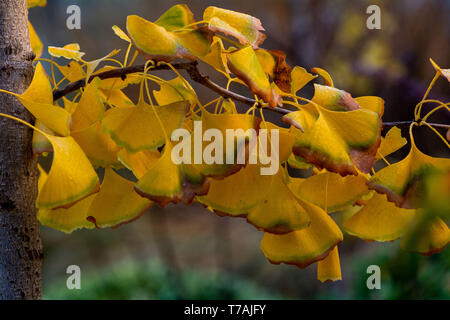 The branch of a ginkgo tree in the Autumn featuring yellow leaves close-up - Stock Image