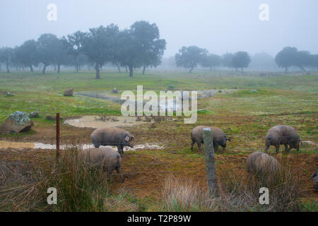 Iberian pigs in a meadow. Los Pedroches valley, Cordoba province, Andalucia, Spain. - Stock Image
