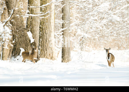 Two white-tailed deer standing in a snowy winter forest - Stock Image