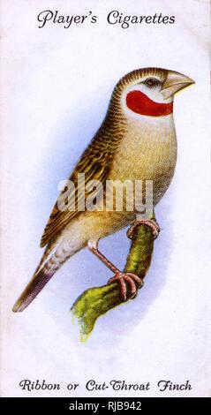 Ribbon or Cut-Throat Finch. - Stock Image