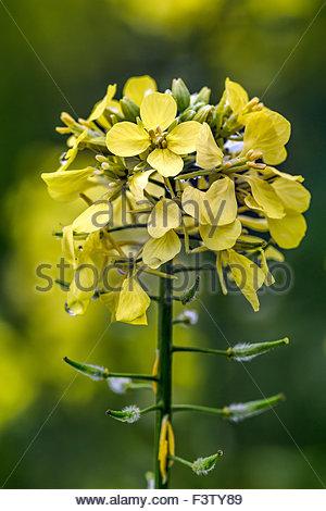 Colza flower (Brassica napus) known as rapeseed, rape, oilseed rape, rapa, rappi, and rapaseed - Stock Image