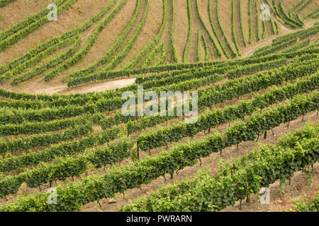 patterns of vines in vineyards in the Alto Douro Port Wine region of Portugal in Summer looking towards the village of Veiga - Stock Image