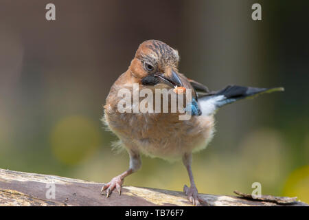 Detailed, close-up front view of wild, juvenile, British jay bird (Garrulus glandarius) isolated in natural UK outdoor habitat, with a nut in its beak. - Stock Image