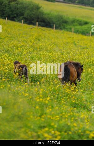 Mom and baby mini pony in meadow with buttercups - Stock Image