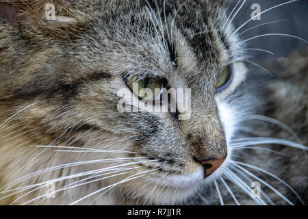 Side portrait of along haired tabby cat - Stock Image