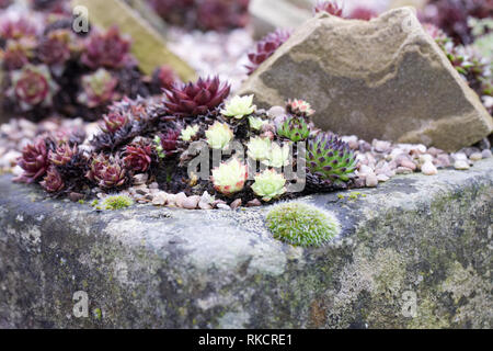 Sempervivums in a rock garden. Houseleeks. - Stock Image