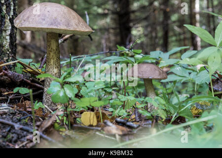 Leccinum scabrum in close-up - Stock Image