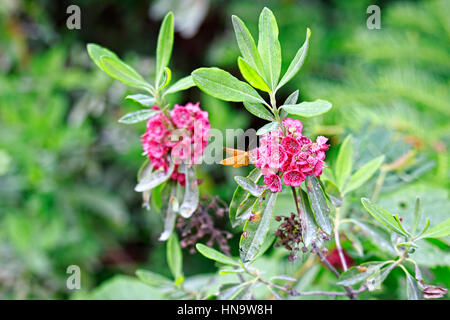 Kalmia polifolia, aka Bog Laurel in flower with yellow moth along hiking trail in woods Temagami Lakes, Ontario, - Stock Image