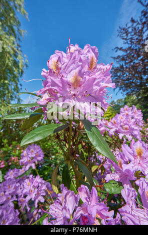 pink rhododendron - Stock Image