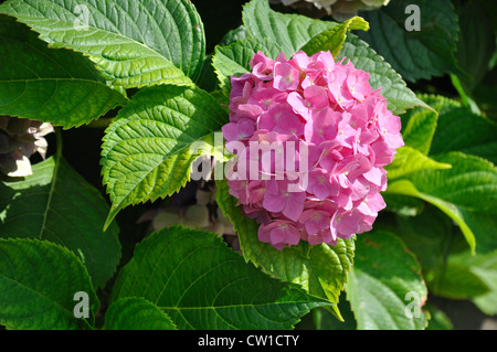 Blooming hydrangea bush - Stock Image
