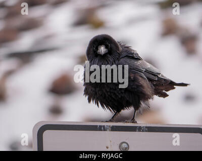 A common raven at Wupatki National Monument, Arizona. - Stock Image