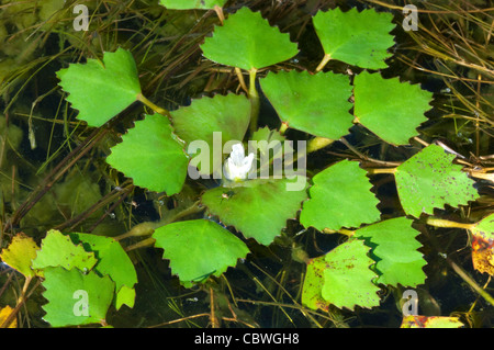 Water Chestnut, Water Caltrop (Trapa bicornis). Floating rosette with flower. - Stock Image