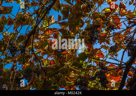Grape leafs in Jerez winary - Stock Image