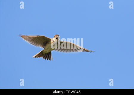 Eurasian skylark (Alauda arvensis) singing in flight against blue sky in spring - Stock Image
