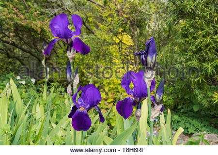 Bearded Iris (Iris germanica), deep purple or violet colours, very large Irises in a garden in Spring (May) in West Sussex, England, UK. - Stock Image