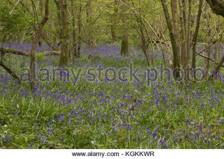 Bluebells in Duncliffe Wood North Dorset UK - Stock Image