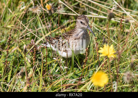 least sandpiper (Calidris minutilla)smallest shorebird, hiding in the grass at Cape St. Mary's Newfoundland, Canada - Stock Image
