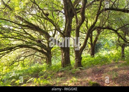 Trees in an English woodland Devon Uk - Stock Image