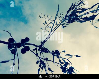 Eucalyptus tree silhouette with leaves and gum nuts - Stock Image