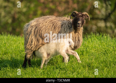 A lamb and a sheep on a meadow - Stock Image