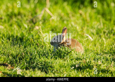 Young wild rabbit, Latin name Oryctolagus cuniculus, sitting in a grassy meadow - Stock Image