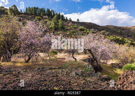 Almond blossom on the trees, Prunus dulcis,  in Santiago del Teide region of Tenerife, Canary Islands, Spain, - Stock Image