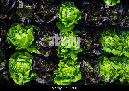 Crisp and colorful background with different color lettuce heads, a popular vegetable among customers who choose a plant-based diet - Stock Image