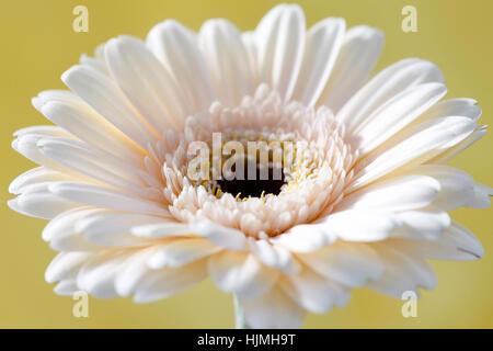 charming cream gerbera on yellow still life  - positive and flourishing Jane Ann Butler Photography  JABP1784 - Stock Image