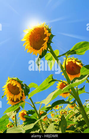 sun over field of sunflowers in summer - Stock Image