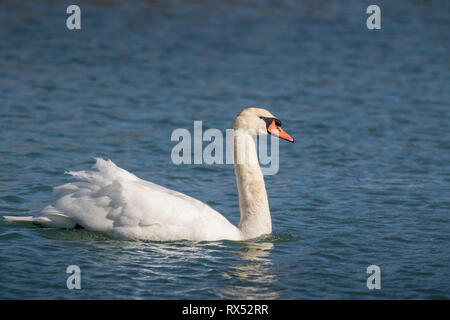 Mute Swan (Cygnus olor) on Lake Ontario at the Scarborough Bluffs in Toronto, Ontario, Canada - Stock Image