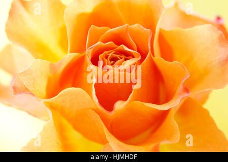 expressive orange rose  JABP1779 - Stock Image