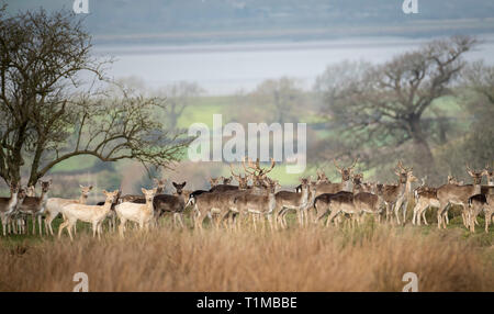 Stags and Hinds. Berkeley Deer Park, Gloucestershire. - Stock Image