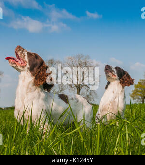 Two English Springer Spaniels sat in grass field looking up at their owner under a summer sky - Stock Image