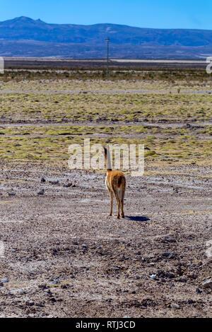 Guanaco near Uyuni, Potosi department, Bolivia - Stock Image