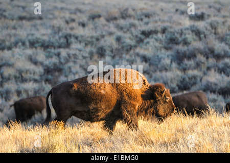 An American bison cow grazing at sunrise at Yellowstone National Park. - Stock Image