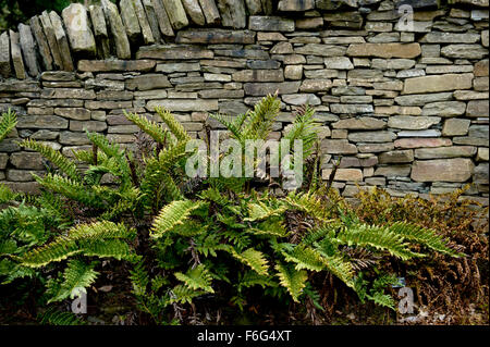 Ferns planted in front of slate dry stone wall create a decorative garden boundary - Stock Image