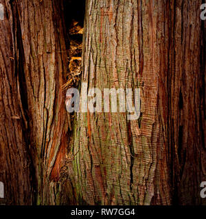 Cedar Tree Bark with Striations and Green Tint - Stock Image